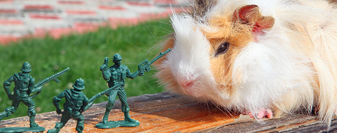 guinea-pig-toy-soldiers